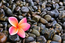 Free Plumeria Flower On Pebble Royalty Free Stock Image - 20257366