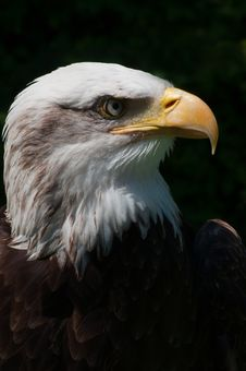 Free Liberty The Bald Eagle Stock Photos - 20257383