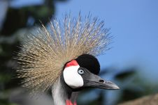 Free Crowned Crane Stock Image - 20259371