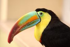 Free Toucan Royalty Free Stock Photography - 20259817