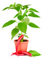 Free Chili Pepper Plant Stock Images - 20260024
