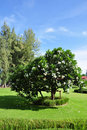 Free Plumeria Flower Tree Stock Photography - 20260292
