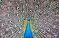 Free Peacock Royalty Free Stock Photography - 20262937