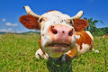 Free Cow On A Summer Pasture Royalty Free Stock Image - 20263916