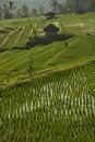Free Rice Field In Bali, Indonesia. Stock Photo - 20265030
