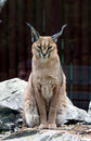 Free Caracal  In Zoo Royalty Free Stock Photo - 20267475