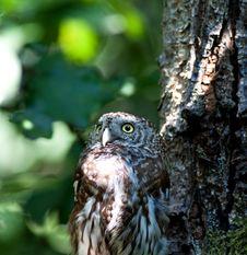 Free Tengmalm S Owl (Aegolius Funereus) Royalty Free Stock Photography - 20260357