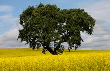 Free Big Oak Tree In Rape Seed Field Stock Images - 20260364