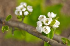 Free Pear Blossom Stock Photography - 20260462