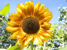 Free Sunflower Outdoor Stock Photography - 20260482