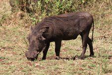 Free Wart Hog Stock Image - 20260651
