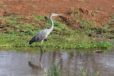 Free Heron Stock Photo - 20260700