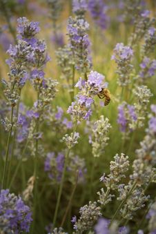 Free Bee And Lavender Stock Photo - 20261120