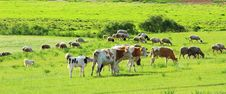 Free Cow In The Grassland Royalty Free Stock Photo - 20262425
