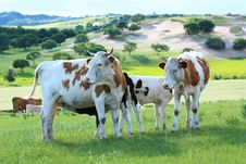 Free Cow In The Grassland Stock Photos - 20262523