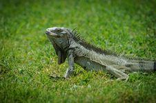 Free Iguana Stock Photo - 20262610