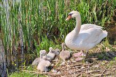 Free Swan Family Royalty Free Stock Image - 20263056