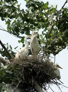 Free White Herons Stock Photos - 20263243