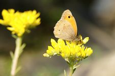 Free Yellow Butterfly Royalty Free Stock Images - 20263509