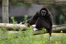 Free White-handed Gibbon Royalty Free Stock Photo - 20263685