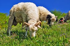 Free Ram On A Summer Pasture Stock Image - 20263741