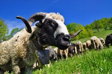 Free Ram On A Summer Pasture Stock Photos - 20263743