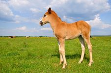 Free Foal On A Summer Pasture Stock Images - 20263764