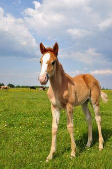 Free Foal On A Summer Pasture Royalty Free Stock Photo - 20263775