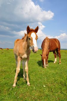Free Foal With A Mare On A Summer Pasture Stock Photo - 20263780