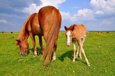 Free Foal With A Mare On A Summer Pasture Stock Photo - 20263790
