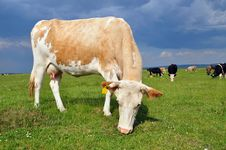 Free Cow On A Summer Pasture Royalty Free Stock Photo - 20263795