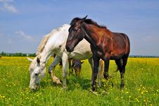 Free Horses On A Summer Pasture Stock Photography - 20263832