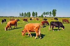 Free Cows On A Summer Pasture Stock Image - 20263851