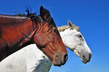 Free Heads Of A Horses Royalty Free Stock Image - 20263866