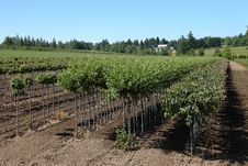 Free Tree Farm, Oregon. Royalty Free Stock Image - 20264086