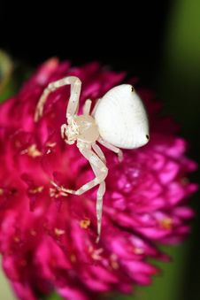 Free White Spider Stock Photos - 20264133
