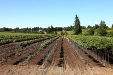 Free Tree Farm, Oregon. Royalty Free Stock Photo - 20264135