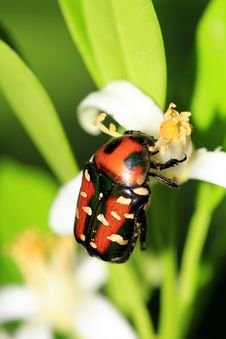 Orange Back Beetle Stock Photography