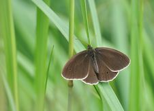 Free Brown Butterfly Royalty Free Stock Photo - 20264835