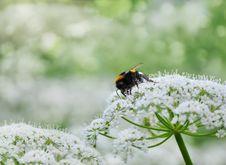 Free Honeybee Stock Image - 20264841