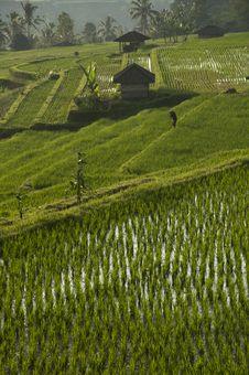 Rice Field In Bali, Indonesia.