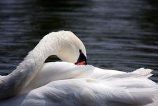 Free Swan Stock Photo - 20266020