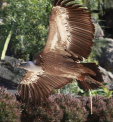 Free Griffon Vulture Flying In A Park Royalty Free Stock Images - 20266049