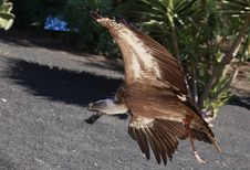 Free Griffon Vulture Flying In A Park Stock Photography - 20266092