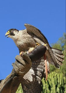 Free Falcon Peregrine On A Falconer S Hand Royalty Free Stock Photography - 20266167