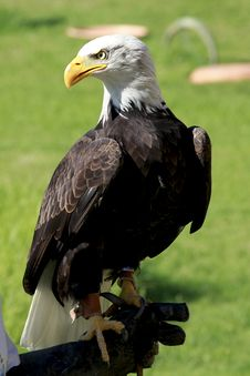 Bald Eagle Standing On A Man S Hand Royalty Free Stock Photos