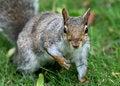 Free Staring Squirrel Royalty Free Stock Photos - 20277618