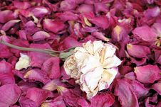 Free Dried  Rose Stock Photos - 20274583