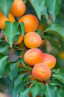Free Apricots Stock Photos - 20275103