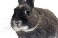 Portrait Of A Dwarf Rabbit Stock Images
